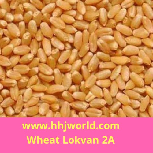 Wheat Lokwan- A2
