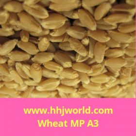 Wheat MP - A3